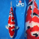 JPD koi photo collections
