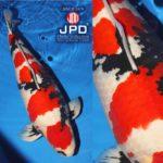 JPD Koi Photo Collections  2020 All Japan Koi show.