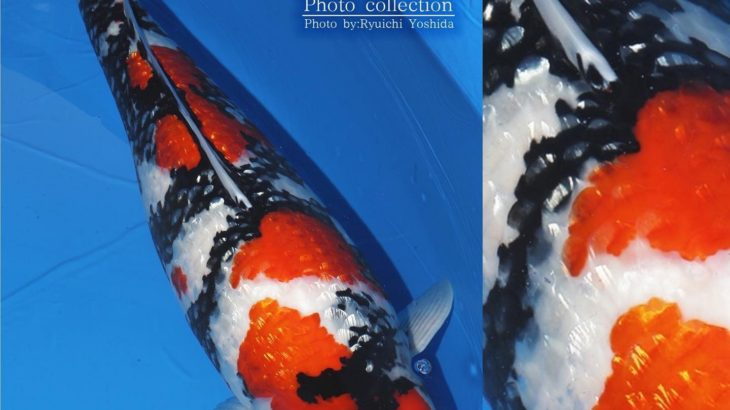 JPD Koi Photo Collections  2020 All Japan Koi show.
